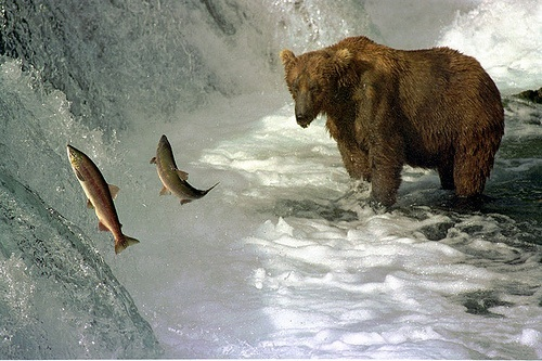 GrizzlyWithSalmon